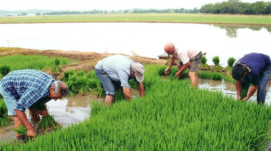 Cultivo de arroz de Pals