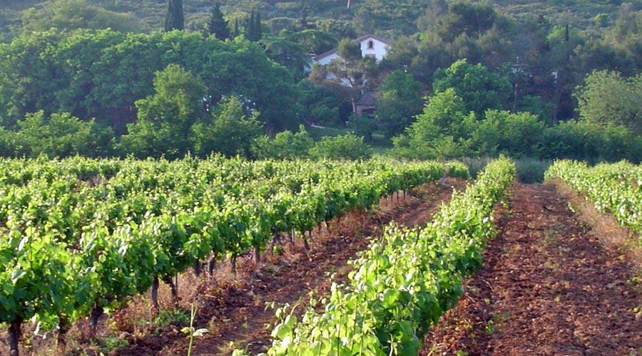 Vineyards in Begues